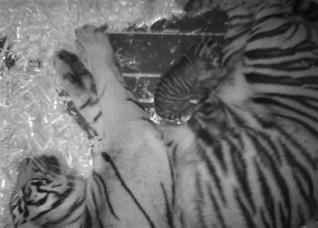 "A Sumatran tiger named ""Leanne"" is shown sleeping beside her newborn cub in this February 13, 2013 handout photo supplied by the San Francisco Zoo and released February 14, 2013. REUTERS/San Francisco Zoo/Handout"