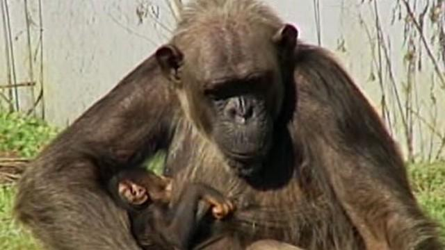 Baby Born in Chimp Haven: Who's the Daddy?