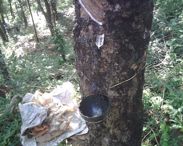 Rubber being extracted