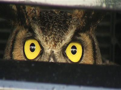 Owl Gets Ride of Life Stuck in an SUV