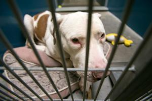 This March 11, 2014 photo shows Mickey, a pit bull, …
