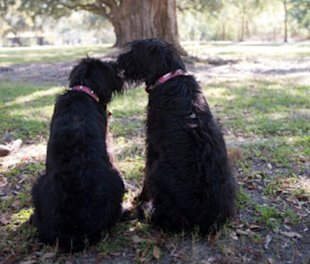 These two Schnauzers helped inspire Swamp Dogs of LA.