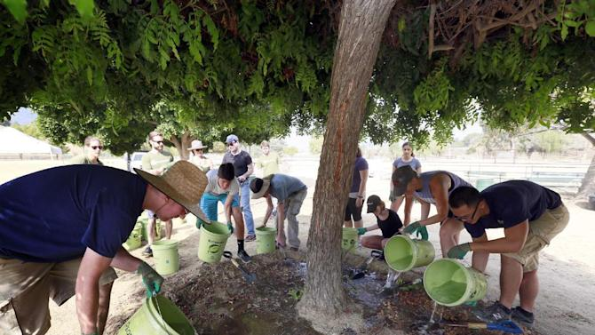 TreePeople volunteers water a tree at the Los Angeles Equestrian Center Martinez Arena in Griffith Park, Friday, July 31, 2015, in Los Angeles. As Californians and the communities they live in cut back water usage and let lawns go golden, arborists and state officials are worrying about a potentially dangerous ripple effect. Nearby trees are going neglected and becoming diseased or dying. (AP Photo/Nick Ut)