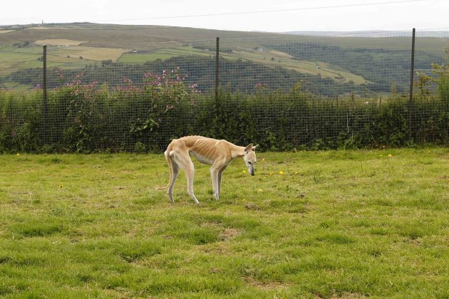 Alice, an abandoned six year old Greyhound, walks in a paddock at Tia Greyhound & Lurcher Rescue near Hebden Bridge, West Yorkshire