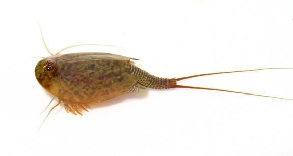 Ancient Tadpole Shrimp Not a Living Fossil, Study Says