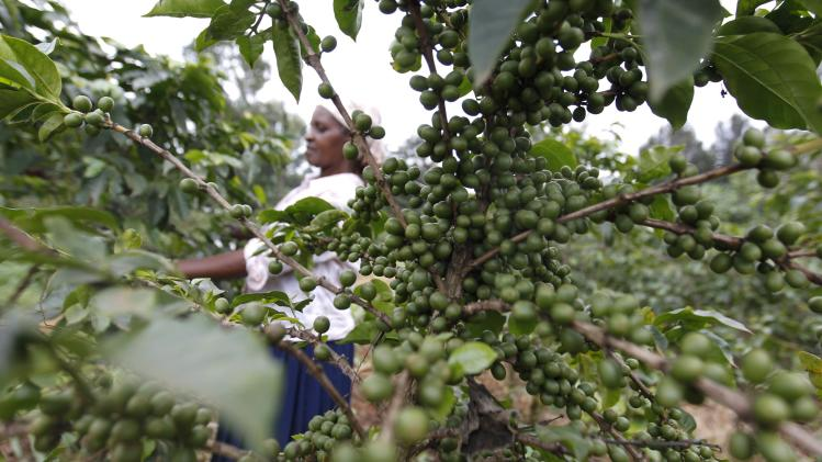A farmer inspects coffee cherries at a plantation in Kienjege