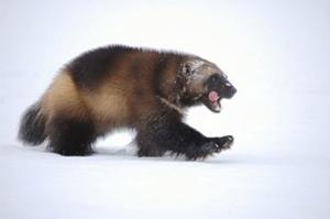 A wolverine walks across the snow in this U.S. Fish and Wildlife Service photo