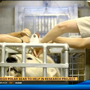 San Diego polar bear to help in research project