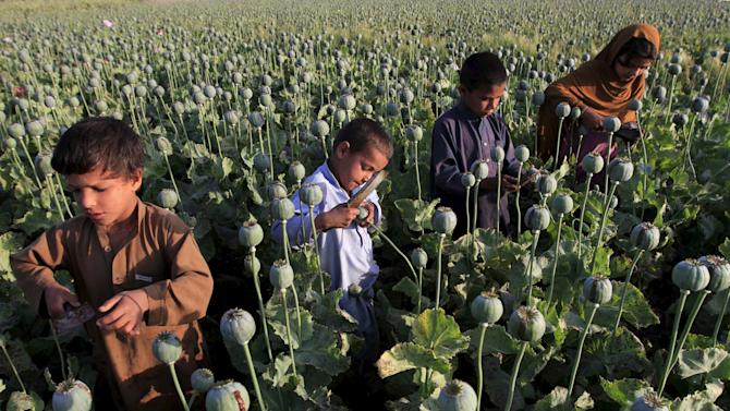 Afghan children gather raw opium on a poppy field on outskirts of Jalalabad