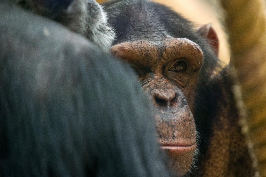 Outrage after Spain police shoot escaped chimp dead
