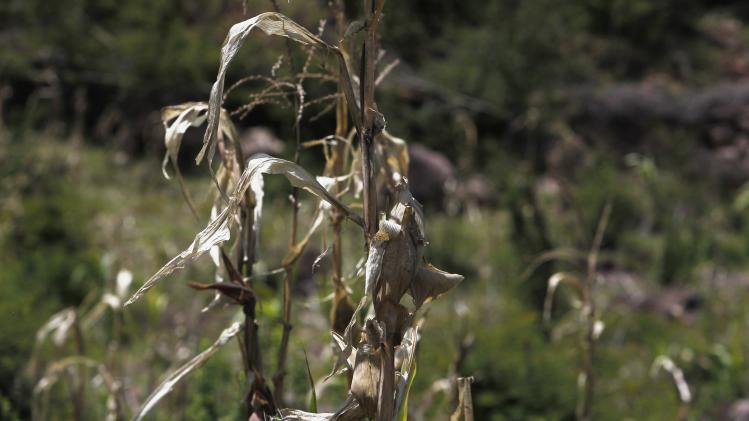 A drought-stricken corn stalk is seen in the village of Orocuina