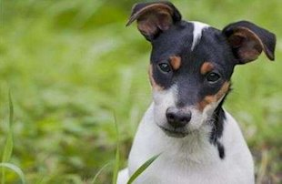 Toy Fox Terrier via Shutterstock