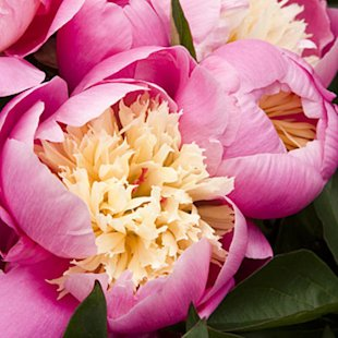 'Bowl of Beauty' Herbaceous peony
