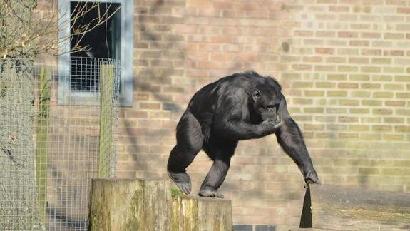 Monkeying Around With Puzzles Makes Chimps Happy