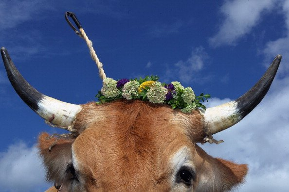 An oxen decorated with a flowers waits for the beginning of the 5th ox-racing championships (5. Muensinger Ochsenrennen) on August 26, 2012 in Muensing, Germany. The competition, which only takes plac