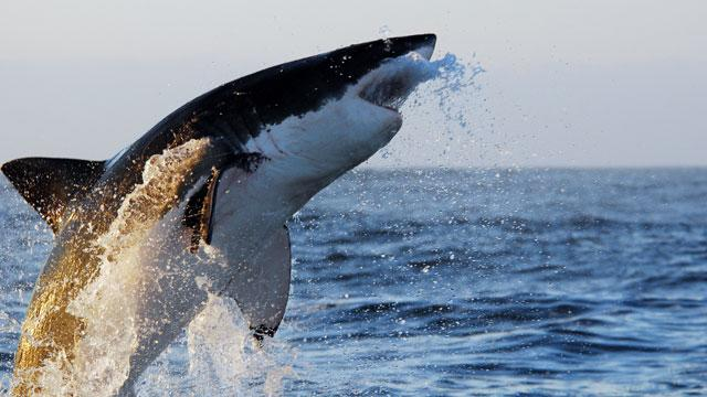 Great White Sharks Spotted Off Australia, Cape Cod
