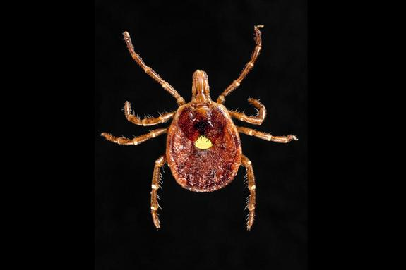 Ouch! Volunteers Get Tick Bites for Science