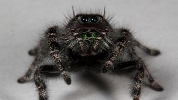 Jeepers, Peepers: Why Spiders Have So Many Eyes