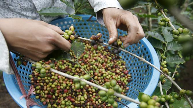 A woman of Thai ethnic tribe harvests coffee at a farm in Son La, northwest of Hanoi, Vietnam