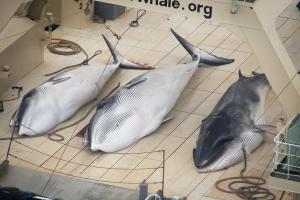 Sea Shepherd catches Japanese fleet, four whales d …