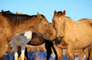 The Verge Review of Animals: Champagne Lady, a wild mustang