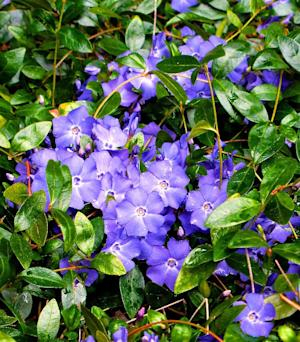 This image taken on March 20, 2013 shows Vinca minor (periwinkle or creeping myrtle), a commonly used groundcover, that prefers rich, moist soil but can tolerate poor, dry conditions and sunny exposures. This bed is growing alongside a house foundation near Langley, Wash. Beware its aggressiveness, however, and restrict its use to areas bordered by walkways or other confined spots. (AP Photo/Dean Fosdick)