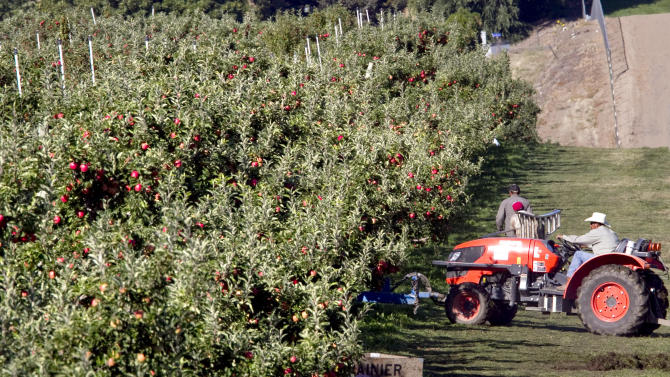 FILE - In this Sept. 9, 2012, file photo, workers harvest apples in Gleed, Wash. Now that Washington voters have legalized marijuana, will an area recognized as one of the most productive agricultural regions in the world, celebrated for Washington apples, hops and wine grapes, become known as the vice belt? Not necessarily. (AP Photo/Yakima Herald-Republic, TJ Mullinax, File)
