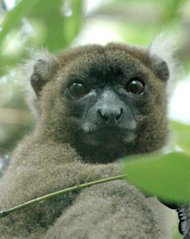 "A prosimian primate, lemur in Latin means ""ghost."" In fact, lemurs' haunting stares and nocturnal activity have led many of the Malagasy people to believe they are ghostlike or spiritlike creatures, according to Duke University Lemur Center. He"