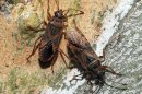 Two Elm Seed Bugs are seen in this undated handout photo provided by the Idaho State Department of Agriculture. A federal official said Wednesday, July 18, 2012 that the invasive insect commonly found in south-central Europe has been detected in southwestern Idaho, marking the first time the elm seed bug has been spotted in the U.S.  (AP Photo/ Idaho State Department of Agriculture)