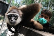 A rescued gibbon monkey at the rehabilitation center run by French environmentalist Aurelien Brule (R), who goes by the nickname Chanee, in Kalimantan on Indonesia's Borneo island. Chanee lives in Kalimantan, where he works towards protecting endangered gibbons whose ranks have been decimated by rampant deforestation