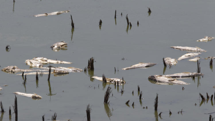 FILE - In this July 26, 2012 file photo, dead fish float in a drying pond near Rock Port, Mo. Delegates from nearly 200 countries are meeting in the Qatari capital of Doha to discuss ways slowing climate change, including by cutting emissions of greenhouse gases that scientists say are warming the planet, melting ice caps, raising sea levels, and changing rainfall patterns with impacts on floods and droughts.(AP Photo/Nati Harnik, File)