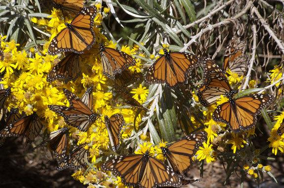 Cold Snaps Trigger Monarch Butterfly Migrations