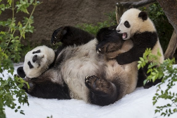 Snow is a rare treat for giant pandas in San Diego.