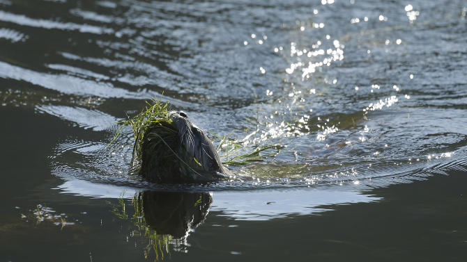 A river otter carries seaweed back to its nest Thursday, Jan. 3, 2013, in San Francisco. For the first time in decades, a river otter has made San Francisco its home, taking up residence in the ruins of the Sutro baths, a 19th century seaside pond facing the Pacific Ocean. (AP Photo/Ben Margot)