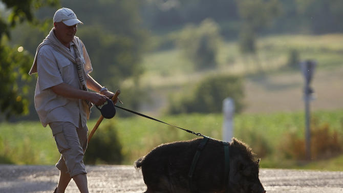 Christophe Lutz walks Marcel, a 30 month-old pig-wild boar crossbreed in the small village of Kolbsheim near Strasbourg
