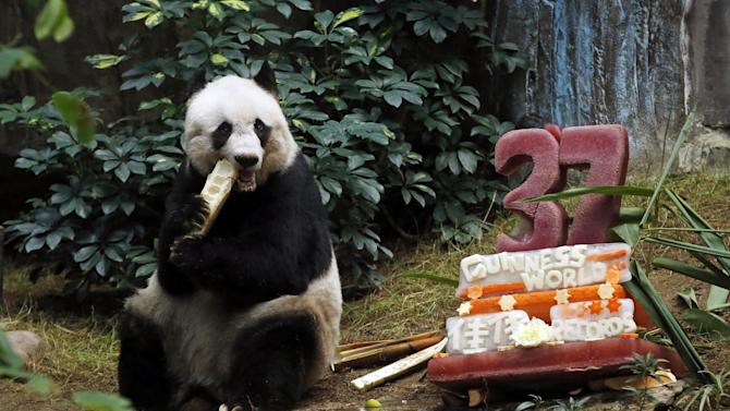 """Giant panda Jia Jia eats bamboo next to her birthday cake made with ice and vegetables at Ocean Park in Hong Kong, Tuesday, July 28, 2015 as she celebrates her 37-year-old birthday. Jia Jia broke the Guinness World Records title for """"Oldest Panda Living in Captivity"""" on Tuesday. (AP Photo/Kin Cheung)"""