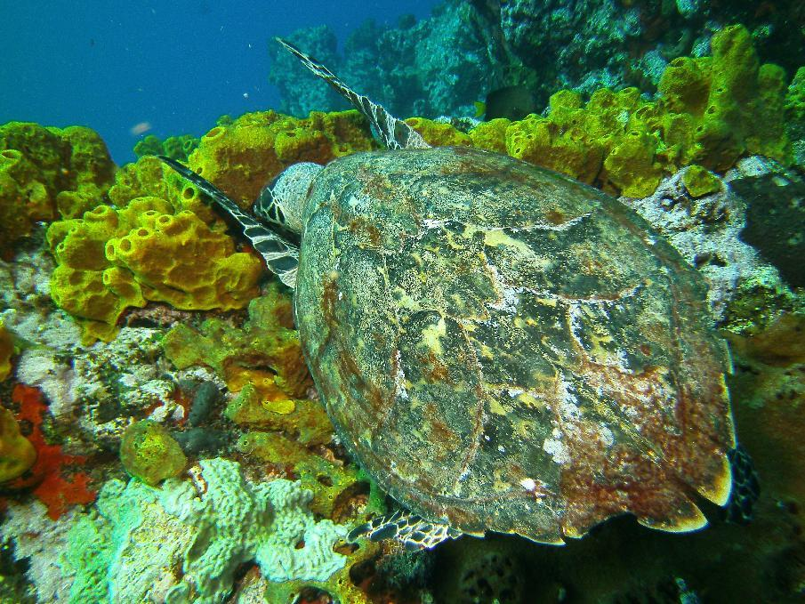 In this May 4, 2012 photo, a hawksbill sea turtle snags lunch at the Man-Of-War Shoals dive site in the Saba Marine Park in Saba, an island in the Caribbean. The island, a Dutch municipality, is popular with divers.  (AP Photo/Brian Witte)