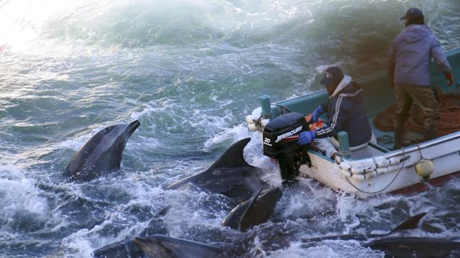 FILE - In this Saturday, Jan. 18, 2014 file photo provided by Sea Shepherd Conservation Society on Tuesday, Jan. 21, 2014, fishermen on boats go over bottlenose dolphins in Taiji, western Japan. Japanese fishermen killed about 40 dolphins targeted for their meat as part of a larger group trapped recently in what activists say was the biggest roundup they have witnessed in the last four annual hunts. A group of American celebrities and other activists want President Barack Obama to refuse to sign an international trade agreement until Japan bans the capture and slaughter of dolphins in the fishing town of Taiji. (AP Photo/Sea Shepherd Conservation Society, File) NO SALES