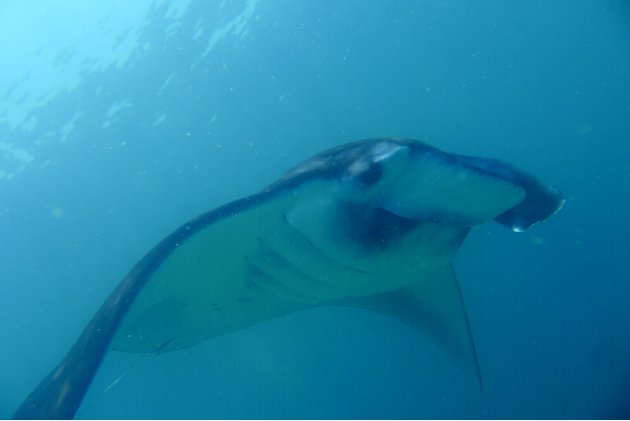 Manta rays are friendly creatures that feed on plankton and small fish. This photo was taken at a 'cleaning station' manta rays go to for regular cleaning by the cleaner wrasse. The cleaner wrasse rem