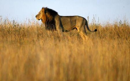 A lion is seen early morning at Nairobi's National Park