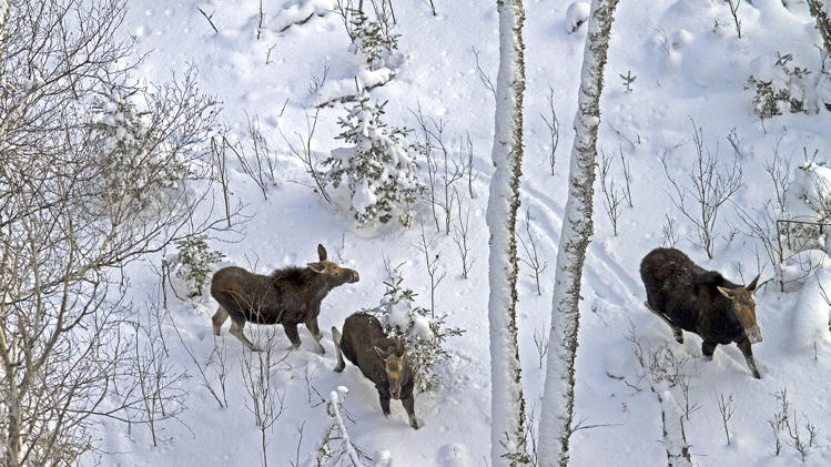 This January 2013 photo provided by Rolf Peterson shows a female moose and her 9-month-old twin calves on Isle Royale in Michigan. The park's moose population was estimated at 975 this year and is growing because of improving forage supplies and a drop in the number of wolves that prey on moose. (AP Photo/Courtesy Michigan Technological University, Rolf Peterson)