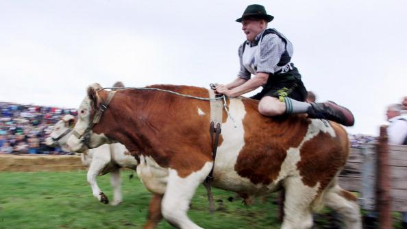 Participants dressed in traditional Bavarian lederhosen compete in the 5th ox-racing championship (5. Muensinger Ochsenrennen) on August 26, 2012 in Muensing, Germany. The competition, which only takes place once every four years, is a race of jockeys riding bareback on oxen across a field and is complemented with a morning procession and 'ox-ball' (featuring roasted ox) in a festivities tent after the races. (Photo by Johannes Simon/Getty Images)