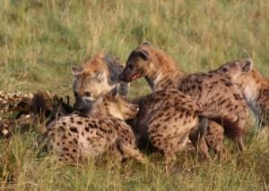 How Aggressive Hyena Moms Give Their Kids a Boost