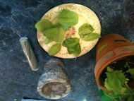 Picked basil leaves ready for my beauty concoctions.