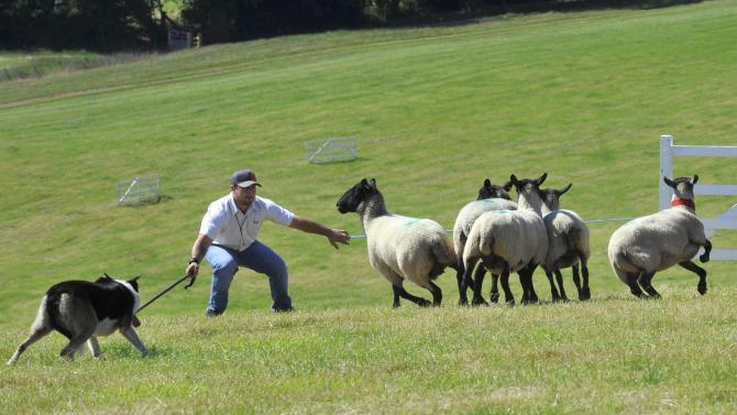 Sheepdog Flash works with handler Jamie Garland at the 2015 Welsh National Sheep Dog Trials at Llanvetherine