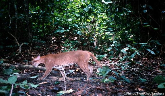 African Golden Cat Attacks Monkeys in Rare Camera Trap Footage