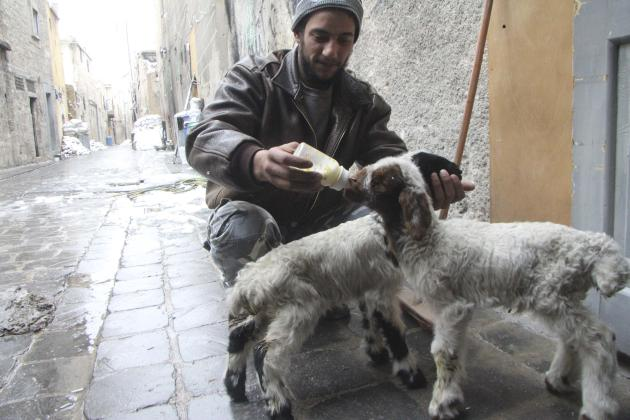 A Free Syrian Army fighter feeds a goat in the city of Aleppo