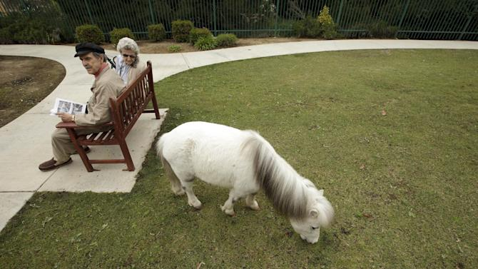 John Martinez, left, and Barbara Gray sit on a bench as a miniature horse grazes at the Silverado Senior Living Center Tuesday, May 1, 2012, in Encinitas, Calif. At the senior center, residents are encouraged to bring their pets. Everything from miniature horses to chinchillascan be found on the grounds, and residents benefit from frequent contact with the pets. (AP Photo/Gregory Bull)