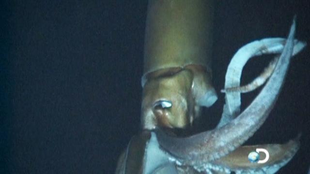 Giant squid filmed for first time in deep sea