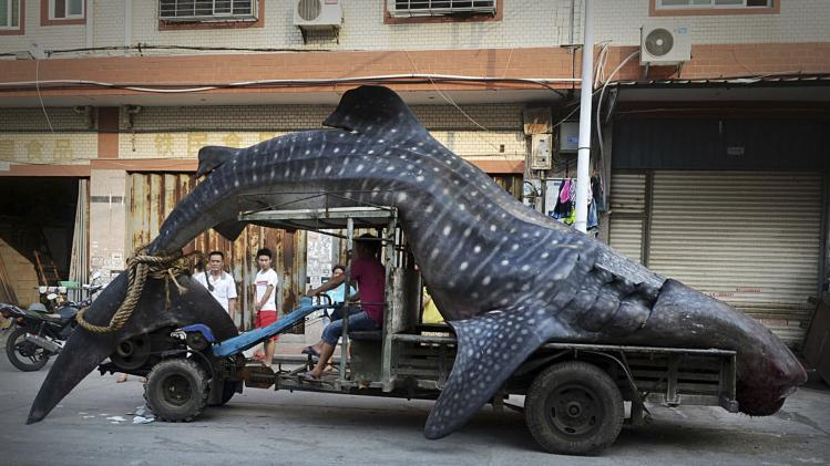 A fisherman transports a dead whale shark after it was caught in fishermen's net, in Yangzhi county